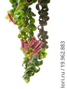 Купить «Aeschynanthus Caroline - Isolated flower - Aeschynanthus Caroline», фото № 19962883, снято 31 октября 2011 г. (c) easy Fotostock / Фотобанк Лори