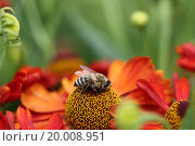 Пчела собирает нектар с красного цветка. Стоковое фото, фотограф Александр Михайловский / Фотобанк Лори