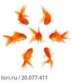 Купить «Concept with goldfish. Condemnation and disapproval of the crowd.», фото № 20077411, снято 13 октября 2013 г. (c) easy Fotostock / Фотобанк Лори