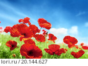 Купить «Маковое поле под голубым небом в солнечный день», фото № 20144627, снято 14 июня 2012 г. (c) Iakov Kalinin / Фотобанк Лори