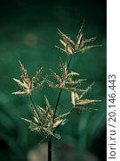 Nutsedge, Purple, Cyperus rotundus. Стоковое фото, фотограф Zoonar/y.more / easy Fotostock / Фотобанк Лори