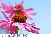 Купить «Perfect nature floral background or wallpaper with bumblebee drinking nectar of pretty pink coneflower, Echinacea purpurea against bright blue sky.», фото № 20161507, снято 4 августа 2012 г. (c) easy Fotostock / Фотобанк Лори