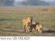 Купить «Lioness after hunting with cubs. The lioness with a blood-stained muzzle has returned from hunting to the kids to young lions.», фото № 20192623, снято 26 августа 2009 г. (c) easy Fotostock / Фотобанк Лори