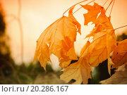 Купить «Autumnal landscape: dry yellow leaves against sunset sky», фото № 20286167, снято 30 июня 2011 г. (c) easy Fotostock / Фотобанк Лори