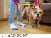 Купить «Child stroking English bulldog in the room», фото № 20392667, снято 26 октября 2014 г. (c) Losevsky Pavel / Фотобанк Лори