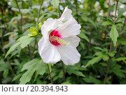 Купить «white hibiscus flower with pink heart close-up view», фото № 20394943, снято 18 июля 2014 г. (c) Losevsky Pavel / Фотобанк Лори