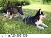 Купить «Two puppies husky sitting on the green lawn», фото № 20395439, снято 5 июня 2014 г. (c) Losevsky Pavel / Фотобанк Лори