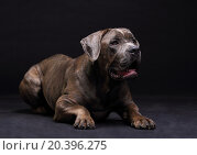 Купить «Cane Corso brindle with open mouth lying on the floor isolated on black», фото № 20396275, снято 12 октября 2014 г. (c) Losevsky Pavel / Фотобанк Лори