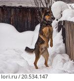 Собака, стоящая на задних лапах. Стоковое фото, фотограф рустам ниязов / Фотобанк Лори