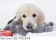 Снежный щенок. Стоковое фото, фотограф Рушания Баженова / Фотобанк Лори