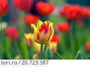 Купить «Яркие желтые тюльпаны», фото № 20723387, снято 10 мая 2013 г. (c) Бачкова Наталья / Фотобанк Лори