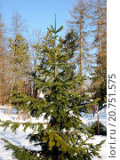 Купить «Abies sibirica, Sibirsche Tanne, Siberian fir, im Winter», фото № 20751575, снято 27 марта 2019 г. (c) age Fotostock / Фотобанк Лори