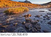 Собака форсирует горную реку. Раннее осеннее утро. Магаданская область. Колыма. Стоковое фото, фотограф Юрий Слюньков / Фотобанк Лори