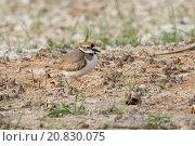 Купить «Long-billed Plover (Charadrius placidus) adult, non-breeding plumage, standing on dry mud, Hong Kong, China, February», фото № 20830075, снято 10 декабря 2018 г. (c) age Fotostock / Фотобанк Лори