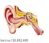 Купить «Human ear cutaway diagram.», фото № 20852695, снято 25 мая 2018 г. (c) PantherMedia / Фотобанк Лори