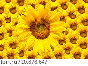 blooming sunflower. Стоковое фото, фотограф Olga Eremina / PantherMedia / Фотобанк Лори