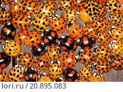Купить «multicoloured Asian beetle (Harmonia axyridis), heaps of invividuals in autumn congregating at a frost free place, Germany», фото № 20895083, снято 14 октября 2008 г. (c) age Fotostock / Фотобанк Лори