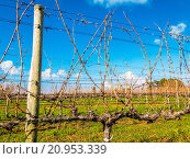 Купить «Vineyard in winter. Time for tending and pruning. Cape Town, South Africa», фото № 20953339, снято 21 февраля 2019 г. (c) age Fotostock / Фотобанк Лори