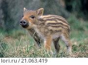 Купить «Wild Boar piglet observes alert conspecifics», фото № 21063419, снято 22 апреля 2018 г. (c) age Fotostock / Фотобанк Лори