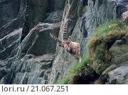 Купить «Alpine Ibex buck rests in a crag», фото № 21067251, снято 17 ноября 2019 г. (c) age Fotostock / Фотобанк Лори