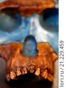 Купить «Scull of Australopithecus afarensis, Addis Ababa, Ethiopia, Africa.», фото № 21229459, снято 23 августа 2014 г. (c) age Fotostock / Фотобанк Лори