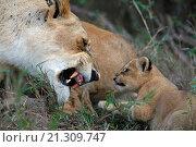 Купить «lion with cubs», фото № 21309747, снято 27 сентября 2010 г. (c) age Fotostock / Фотобанк Лори