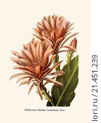 Купить «Phyllocactus hibridns Gordonianus Hort.», фото № 21451239, снято 27 мая 2018 г. (c) age Fotostock / Фотобанк Лори