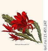 Купить «Phyllocactus Ackermannii S.D.», фото № 21451247, снято 27 мая 2018 г. (c) age Fotostock / Фотобанк Лори