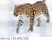 Купить «Дальневосточный, или амурский, леопард», фото № 21472139, снято 24 января 2016 г. (c) Галина Савина / Фотобанк Лори