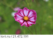 Цветок космеи. Стоковое фото, фотограф Эльвира Рубан / Фотобанк Лори
