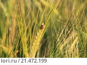 Божья коровка на колоске пшеницы. Стоковое фото, фотограф Эльвира Рубан / Фотобанк Лори