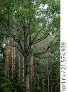 Ветвистое дерево в лесу. Стоковое фото, фотограф Дарья Серебрякова / Фотобанк Лори