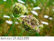 Купить «Daucus carota.», фото № 21623095, снято 6 июля 2020 г. (c) easy Fotostock / Фотобанк Лори