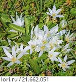 Купить «Ornithogalum Flowers in the Grass», фото № 21662051, снято 19 сентября 2019 г. (c) PantherMedia / Фотобанк Лори