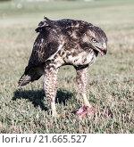 Купить «Red-tailed Hawk, Buteo jamaicensis, juvenile, eating a Squirrel eating a Squirrel», фото № 21665527, снято 16 сентября 2019 г. (c) PantherMedia / Фотобанк Лори
