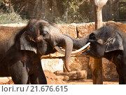 Купить «Asian elephants at the zoo communicate with each other using their trunks and tusks», фото № 21676615, снято 29 ноября 2015 г. (c) Наталья Волкова / Фотобанк Лори