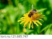 Пчела на желтом одуванчике собирает нектар. Стоковое фото, фотограф Alex Ryabis / Фотобанк Лори