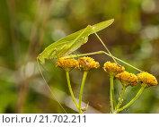 Саранча. Большой кузнечик сидит на жёлтом цветке осенью. Стоковое фото, фотограф Игорь Низов / Фотобанк Лори