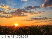 Купить «Поле подсолнухов на закате», фото № 21708555, снято 23 августа 2015 г. (c) Ирина Мойсеева / Фотобанк Лори