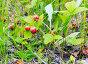 Веточка с лесной ягодой земляникой среди травы, фото № 21725407, снято 1 июля 2015 г. (c) Алексей Маринченко / Фотобанк Лори