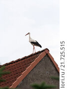 Купить «Kuppentin, Germany, Stork on the roof ridge», фото № 21725515, снято 6 августа 2011 г. (c) Caro Photoagency / Фотобанк Лори