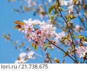 Купить «Сакура», фото № 21738675, снято 30 апреля 2012 г. (c) Алёшина Оксана / Фотобанк Лори
