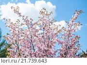 Купить «Цветущая сакура», фото № 21739643, снято 30 апреля 2012 г. (c) Алёшина Оксана / Фотобанк Лори