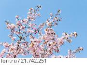 Купить «Цветущая сакура», фото № 21742251, снято 30 апреля 2012 г. (c) Алёшина Оксана / Фотобанк Лори