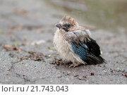 Маленький птенец сойки сидит на земле. Стоковое фото, фотограф Наталья Чумакова / Фотобанк Лори
