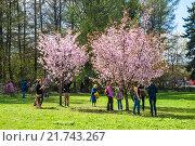 Купить «Люди любуются цветущей сакурой», фото № 21743267, снято 30 апреля 2012 г. (c) Алёшина Оксана / Фотобанк Лори