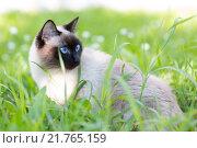 Сиамская кошка в траве. Стоковое фото, фотограф Дмитрий Загурский / Фотобанк Лори