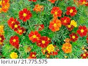 Купить «Цветут жёлтые и красные цветы календулы», фото № 21775575, снято 18 июня 2019 г. (c) Зезелина Марина / Фотобанк Лори