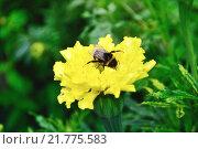 Купить «Шмель сидит на желтом цветке календулы», фото № 21775583, снято 22 октября 2018 г. (c) Зезелина Марина / Фотобанк Лори