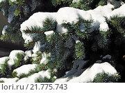 Купить «Заснеженные лапы голубой ели (лат. Picea pungens)», фото № 21775743, снято 23 января 2016 г. (c) Сергей Трофименко / Фотобанк Лори